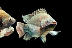 Tilapia Mossambicus Oreochromis ψάρια στοκ εικόνες