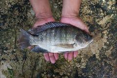 Tilapia (Oreochromis niloticus) Fotografering för Bildbyråer