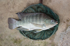 Tilapia (Oreochromis niloticus) big size in fishing net Royalty Free Stock Photos