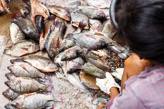 Tilapia. And sale of  in Thailand royalty free stock photo