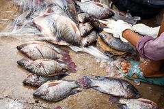 Tilapia. And sale of  in Thailand royalty free stock images