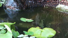 A tilapia swimming amongst water plants in the caribbean stock video footage