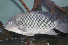 Tilapia. The Tilapia swimming in Aquarium Stock Image