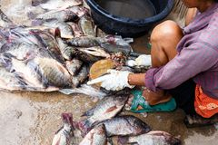 Tilapia. And sale of  in Thailand royalty free stock image