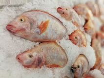Tilapia vermelho na tenda dos peixes no gelo esmagado no supermercado imagem de stock