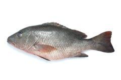 Tilapia vissen Royalty-vrije Stock Afbeeldingen