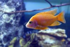TilapiaCoptodon fisk i klar wate arkivfoto