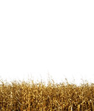 A tileable corn background. A background image of a corn field isolated on white. This image will tile horizontally Stock Image