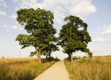 Tilia, also called as linden or basswood Royalty Free Stock Photo