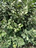 Tilia americana caroliniana stock foto