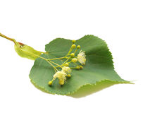 Tilia cordata Stock Photo