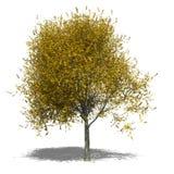 Tilia cordata (autumn) Stock Image