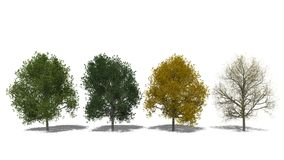 Tilia cordata (Four Seasons) Royalty Free Stock Photos