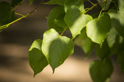 Tilia cordata sin. Tilia parvifolia leafs close up Royalty Free Stock Photography