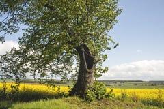 Tilia in the countryside Stock Photos