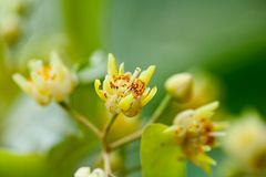 Tilia flowers Stock Photos