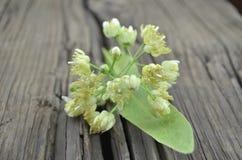 Tilia flowers Stock Photos