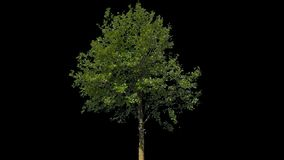 Tilia Isolated Tree. Small Leaved Lime Tree (Tilia cordata) isolated on black background with alpha channel - Apple ProRes 4444 with Alpha channel, 10bit high stock video footage