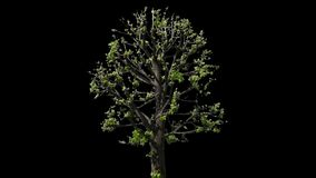 Tilia Isolated Tree. Small Leaved Lime Tree (Tilia cordata) isolated on black background with alpha channel - Apple ProRes 4444 with Alpha channel, 10bit high stock footage