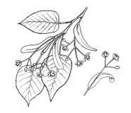 Tilia kwiatów i liści ręki remisu ilustracja Fotografia Stock