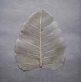 Tilia Leaf Membrane. Tilia Cordata Leaf Membrane shot on grey background as a still life. Common name, 'Lime stock image