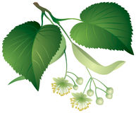Tilia leaves and flowers Stock Image