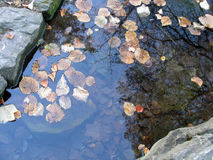 Tilia leaves in water. Autumn in park Stock Photo