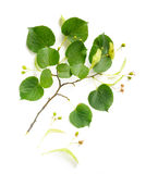 Tilia (Lime-tree) Branch with Flowers and Fruit Stock Photo
