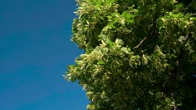 Tilia linden tree leaves and flowers with wind blowing. Blue sky on the background. Sunny day stock footage