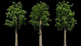 Tilia Odosobniony drzewo zbiory wideo