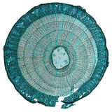 Tilia stem micrograph Stock Photography