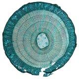 Tilia trzonu micrograph Fotografia Stock