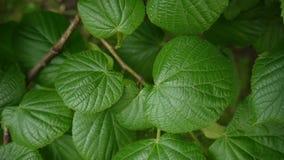Tilia vert et frais de tilleul de limettier de feuilles en été Tir d'appareil-photo statique enregistrement vidéo de 1080 plein H banque de vidéos