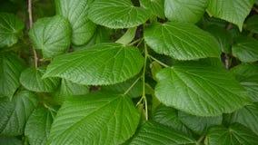 Tilia vert et frais de tilleul de limettier de feuilles en été Tir d'appareil-photo statique enregistrement vidéo de 1080 plein H clips vidéos