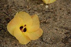 Tiliaceus do hibiscus imagens de stock royalty free