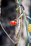 Tiliacora triandra (Colebr ) Menispermaceae för Diels bambugräs Arkivfoton