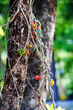 Tiliacora triandra (Colebr ) Menispermaceae för Diels bambugräs Arkivbild