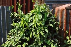 Bai-Yanang thai word, Tiliacora triandra growing on zinc fence. Tiliacora triandra growing on zinc fence, Bai-Yanang thai word Stock Photo