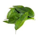Tiliacora triandra & x28; 在泰国name& x29的Baiya nang;隔绝在白色 免版税图库摄影