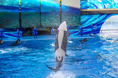 Tilikum killer whale Royalty Free Stock Images