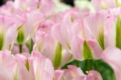 Tilips rosados Imagen de archivo libre de regalías