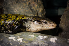 Free Tiliqua Scincoides Royalty Free Stock Images - 60149749