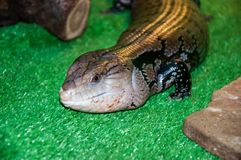 Tiliqua scincoides or skink Blue tongue Royalty Free Stock Images