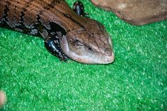 Tiliqua scincoides or skink Blue tongue. Belongs to the genus of giant Blue tongue lizards stock photography