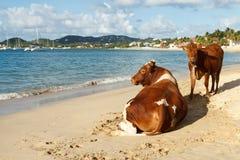 Till The Cows Get A Tan Stock Photo