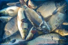 Till salu massor av ny fisk carp arkivfoto
