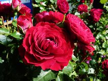 Till salu röda rosor Arkivbilder