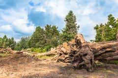 Till salu stort träd arkivbild
