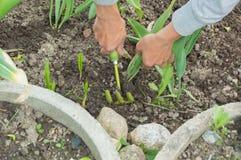 Till salu tulpan för pik för händer för trädgårdsmästare` s royaltyfria bilder
