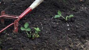 Tillage of strawberries garden bed stock video footage